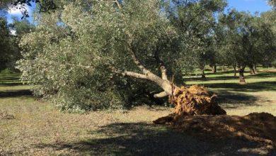 Photo of Coldiretti, fermare Xylella prima dell'arrivo a Matera
